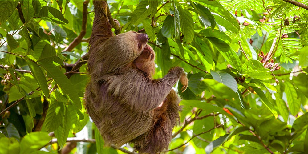 2 toed sloth at Rafiki